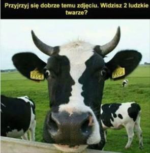 krowa_2twarze